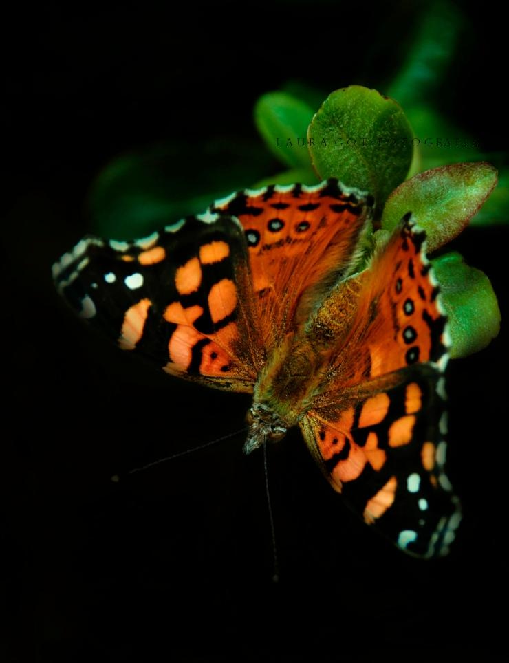 otra mariposa f